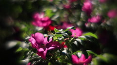 Sunlit wild rose branch with pink flowers, waving on wind in unusual light Stock Footage