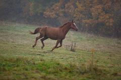 Running horse in the fog Stock Photos