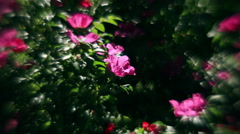 Wonderful sunlit wild rose bushes with pink flowers Stock Footage