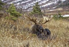 Alaskan Bull Moose Stock Photos