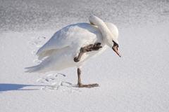 White swan on a frozen lake - stock photo