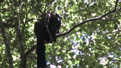 Bearded monkey in forest. Stock Footage