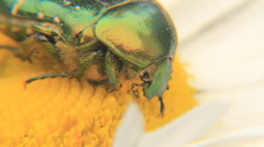 Rose Chafer - stock footage