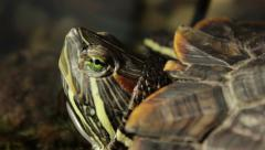Turtle Cautiously Watching For Danger Stock Footage