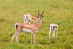 Grant's Gazelles in Serengeti National Park, Tanzania Stock Photos
