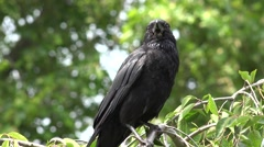 4K Flying Crow, Raven, Black Birds on Branch in Cherry Tree, Nature Summer View Stock Footage