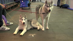 Two prize huskies - stock footage