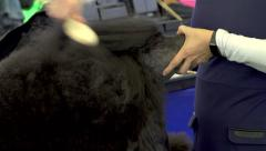 Poodle getting its head brushed Stock Footage