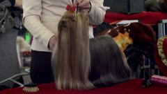 Yorkshire terrier at dog show Stock Footage