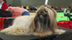 Shih tzu groomed for dog show Stock Footage