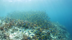 School of Yellowtail Fusiliers Stock Footage