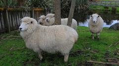 Merino sheep in ranch farm new zealand Stock Footage