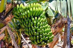 Banana Plantation Field - stock photo