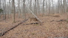 Deer Cinematic Parallel to Animal while Grazing - stock footage