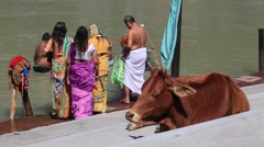 Indian people at ritual washing in Ganges River and cow. Rishikesh, India Stock Footage
