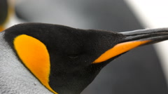 A close-up of a King penguin's head - stock footage