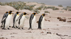 A line of King penguins walking on the beach. Stock Footage