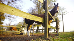Horse wave with tail inside the wooden fence 4K Stock Footage