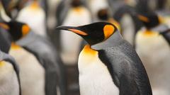 Medium close-up of a King penguin. Stock Footage