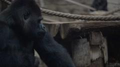 Gorillas are ground-dwelling, herbivorous apes Stock Footage