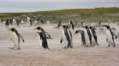 A group of King & Gentoo penguins walking on a beach. Stock Footage