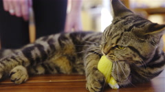 Playful cat caressing and playing with yellow mouse 4K Stock Footage