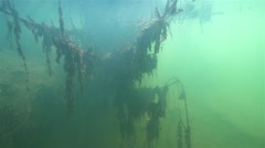 Silhouette of a sunken tree in the river overgrown with algae Stock Footage