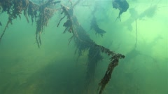 Silhouette of a sunken tree in the river overgrown with algae in slow motion Stock Footage