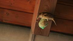 Sparrow scares fellow away Stock Footage