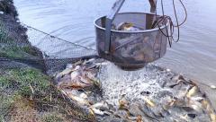 Harvesting Fish in Fish Farm - stock footage