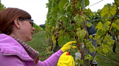 Woman cut grapes from vineyard Stock Footage
