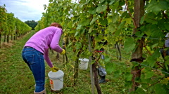 Person put wine grapes in to white bucket Stock Footage