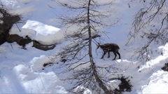 Rupicapra rupicapra, chamois, snow, ice, search for food, winter Stock Footage