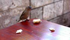 Sparrow taking a large kernel of bread on a table - one sparrow Stock Footage