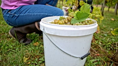 Filling bucket with vine grapes close up Stock Footage