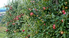 Mass growing apples on trees - stock footage