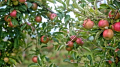 Apples hang from branches close up Stock Footage