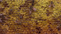 Honey bees on honey filled frame closeup - stock footage