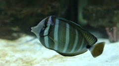 Red Sea sailfin tang - Zebrasoma desjardinii - stock footage