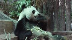 Giant Panda Bear Eating Bamboo Stock Footage