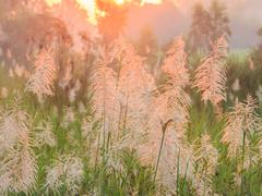Reed grass closeup on foggy morning Stock Photos