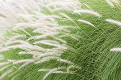 Imperata cylindrica Beauv of Feather grass - stock photo