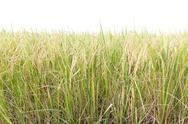 Stock Photo of Rice fields in the tropics on white