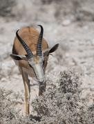 Impala antelope (Aepyceros) - stock photo