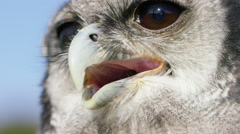 4K Close up on the face of a Verreaux's Eagle Owl  Stock Footage