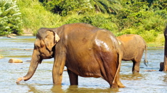 Elephants drinking water in the river Stock Footage