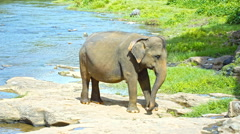 Elephant calf nibbling on grass - stock footage