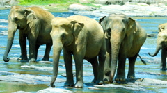 Elephants crossing the river Stock Footage