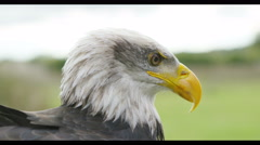 4K Close up on the face of a Bald Eagle in natural environment.  - stock footage