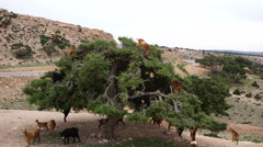Morocco goats on an argan tree eating the argan nuts Stock Footage